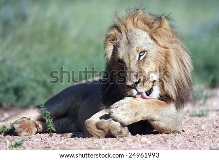 Young lion in Kruger park of South Africa