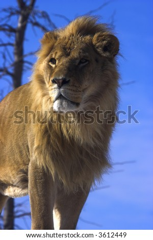 Young lion with blue sky