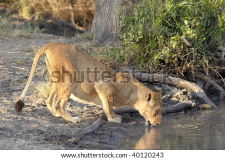 Young lioness cub drinking water in the early morning light after a night of hunting in the African bush - stock photo