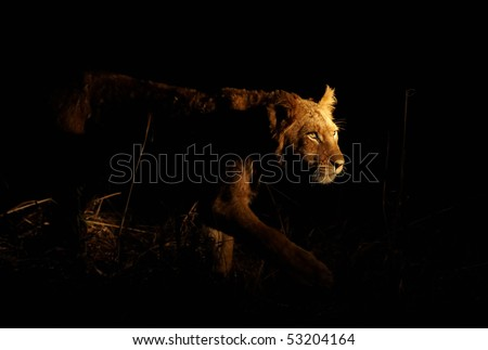 Young lioness stalking her prey on a night hunt. Lit with a single spotlight from another tracking vehicle