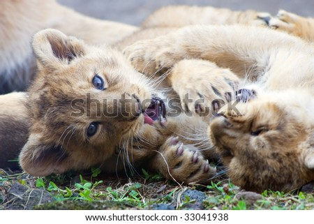 Young lions born in Zurich Zoo in 2009
