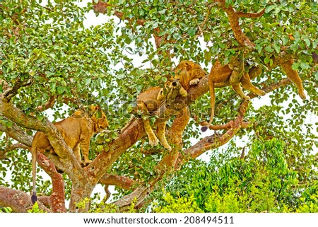Young Lions Resting in a Tree in Uganda