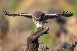 Young little owl Athene noctua is flying.