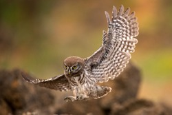 Young little owl (Athene noctua) is flying with prey.