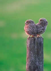 Young little owls in sunset light