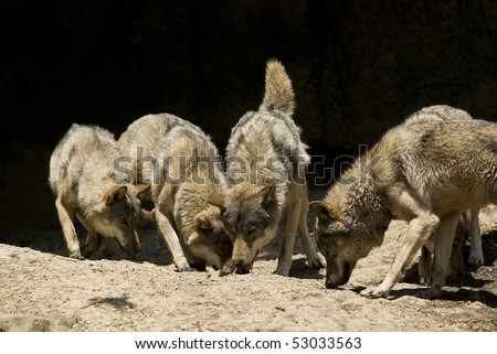 Young lively wolfs take their everyday vitamin supplement