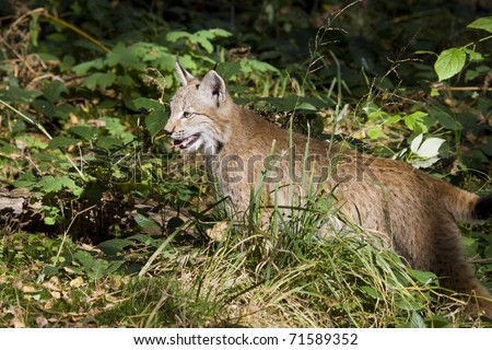 young lynx hunting in the summer forest
