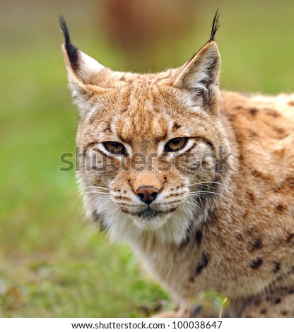 Young Lynx in spring