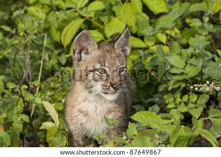 Young Lynx Peeking Out of the Brush
