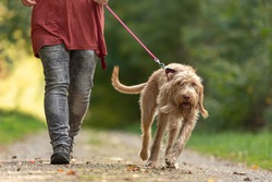 Young  Magyar Vizsla hound. female dog handler is walking with  dog on the road in a forest. Large dog pulls on the leash