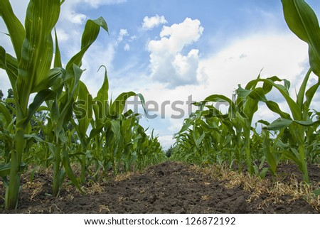 Young Maize plants growing in a row in a field