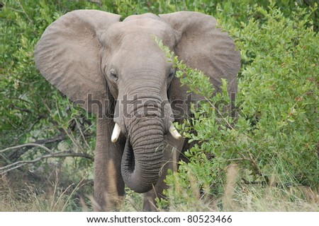 Young male African Elephant (Loxodonta africana) feeding in Kruger National Park, South Africa