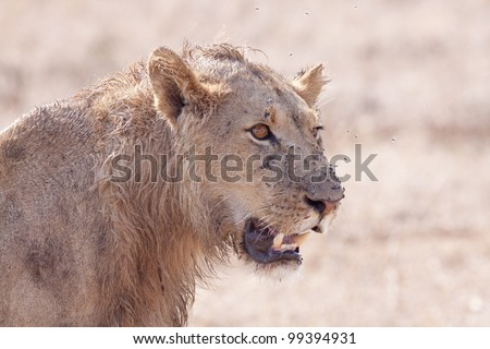 Young Male African Lion (Panthera leo) portrait
