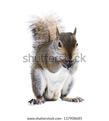 Young male American gray squirrel eats something. Isolated on white background
