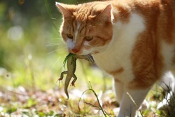 Young male Australian domestic ginger cat hunting a green lizard at the back yard