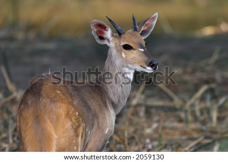 Young Male Bushbuck with developing horns
