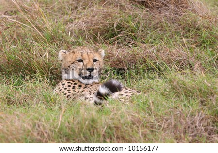 Young Male Cheetah Hiding During Play From its Litter Mate