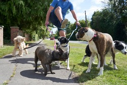 Young male dog walker struggling to walk dogs along suburban street