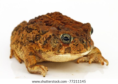 young male Dwarf African Bullfrog, Pyxicephalus edulis