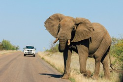 Young male elephant shaking head at car in the Kruger National Park, South Africa. Walking cross road.