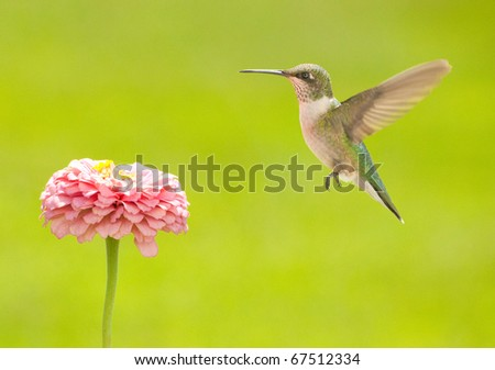 Young male Hummingbird hovering close to a flower, getting ready to feed against green summer background