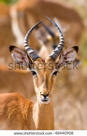 young male impala antelope kruger national park south. Black Bedroom Furniture Sets. Home Design Ideas