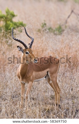 Young male impala antelope, Kruger National Park, South Africa