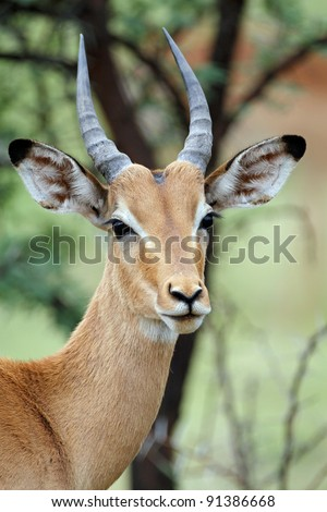 Young male impala antelope, pilansburg National Park, South Africa