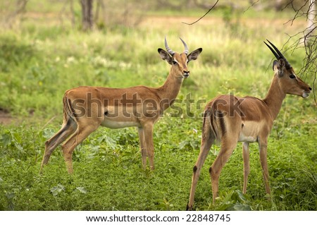 young male impalas in Kruger park