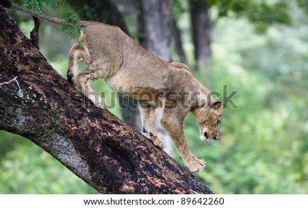 young male lion climbing down a tree