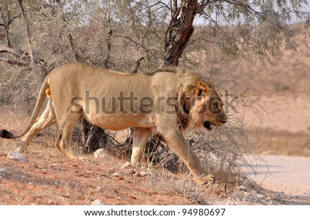 Young Male Lion in the Kgalagadi Transfrontier Park, Kalahari Desert, South Africa.