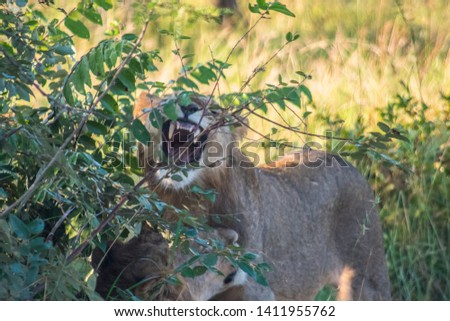 Young male lion opening wide near brother near Kruger National Park #1411955762