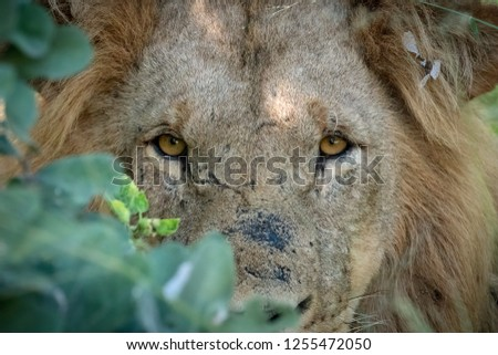 Young male lion with scars on his face peers out of the bush after being awaken from his mid-day nap #1255472050