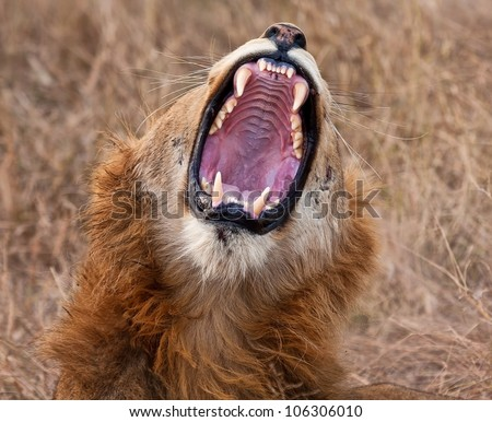Young male lion yawning with big, sharp teeth