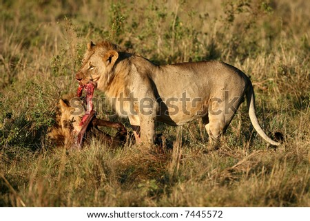 Young Male Lions Feeding on Wildebeest Kill