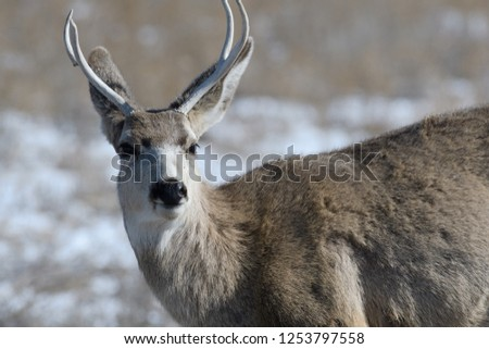 Young male mule deer on a sunny winter day near Denver, Colorado #1253797558