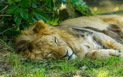 young male of barbary lion (Panthera leo leo) resting on grass