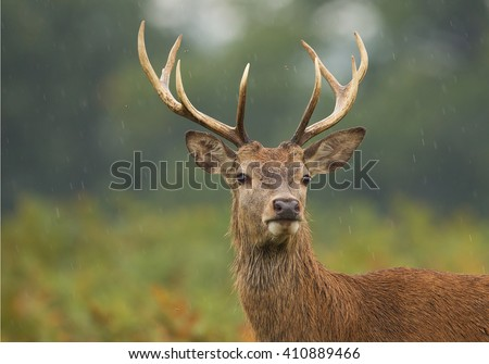 Young male of red deer standing in high fern, rainy day, clean background, UK, Europe #410889466