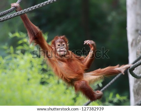 Young male Orangutan is relaxing