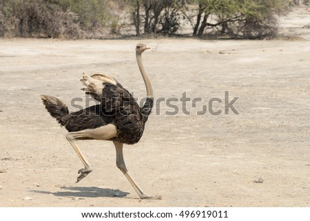 stock-photo-young-male-ostrich-struthio-