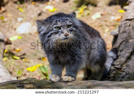 young male Otocolobus manul, Pallas\' cat watching nearby