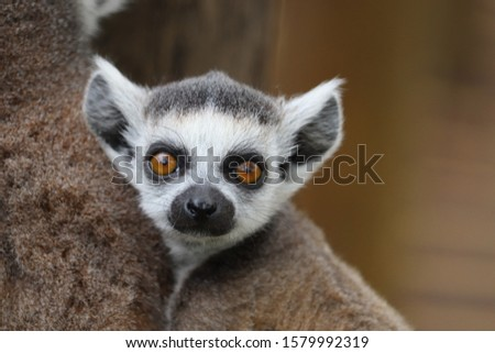 Young Male Ring-Tailed Lemur, Loki (Lemur catta)