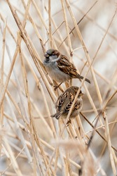 Young male sparrows (Passer domesticus) in a reed