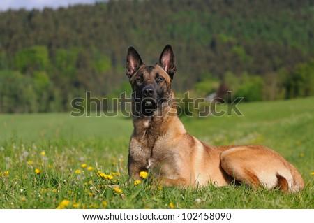 young Malinois Dog 1 year  Belgian Shepherd