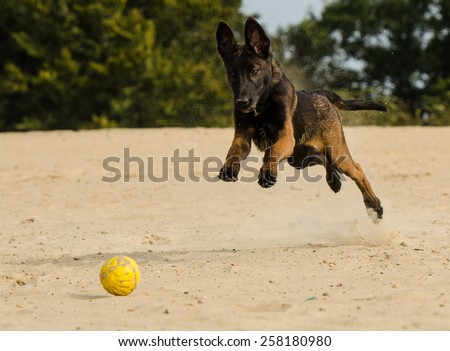 Young Malinois is running after the ball