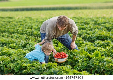 Young man and his son on organic strawberry farm in summer, picking berries