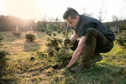 Young man plant a small tree in the garden. Small plantation for a christmas tree. Picea pungens and Abies nordmanniana. Spruce and fir.