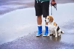 Young man walking dog in rain. Details of legs wellies