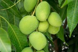 Young mango on tree.