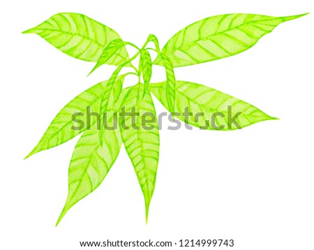young mango sprout. watercolor illustration. isolated on white. #1214999743
